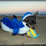 Wordless Wednesday: PAWS, the Ferocious Chihuahua!