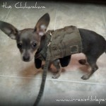Wordless Wednesday: Soldier Chihuahua!