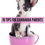 Ten Tips for Chihuahua Parents