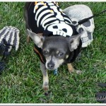 Chuy Chihuahua Having a Spoooktacular Time!