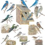 FREE – Nesting Birds Poster