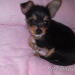 Mimi, my Chorkie Niece!