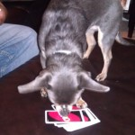 Wordless Wednesday – An Uno Playing Chihuahua!