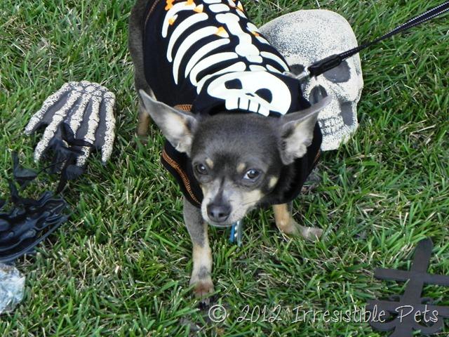 Chuy Chihuahua Skull Hoodie