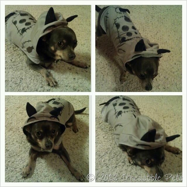 Frankenweenie - Chuy Chihuahua Costume Collage