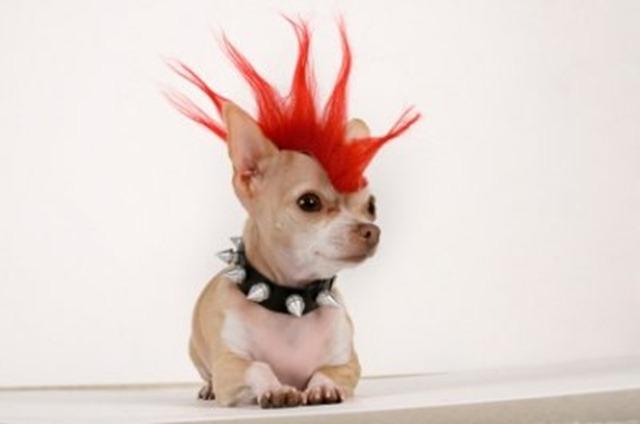 Punk Rock Chihuahua