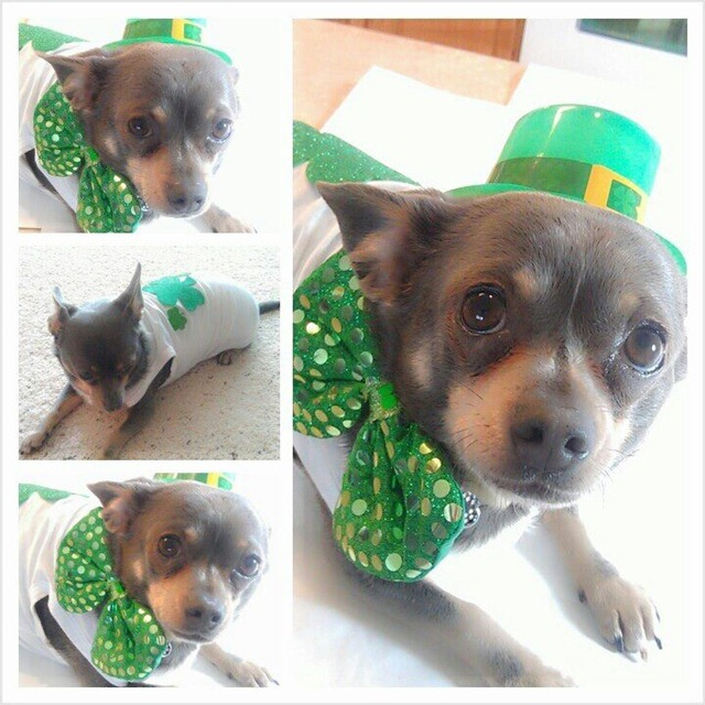 Chuy Chihuahua - St Paddys Day