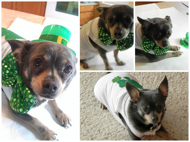 DIY Shamrock Dog Shirt - Chuy Chihuahua Approved