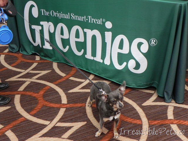 Chuy Chihuahua Loves Greenies