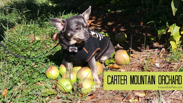 Carter Mountain Orchard Dog Friendly - IrresistiblePets.com