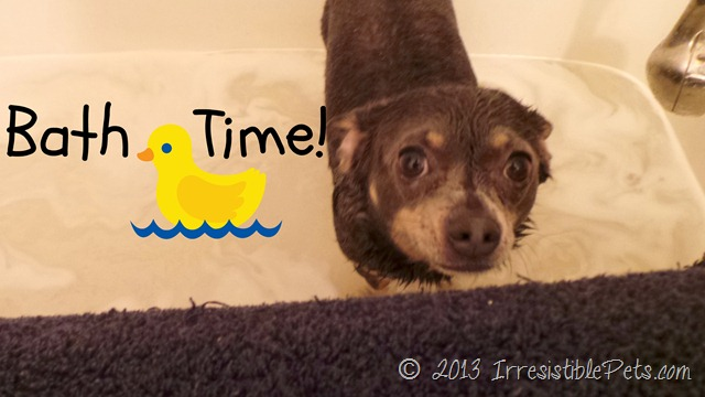 Bath Time Chuy Chihuahua