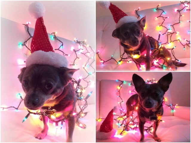 Chuy Chihuahua Christmas Collage