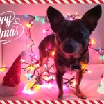 Merry Christmas from Chuy Chihuahua!