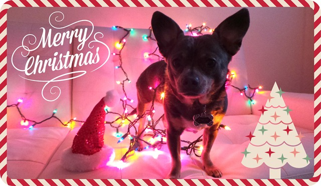 Merry Christmas from Chuy Chihuahua