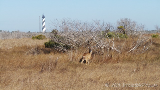 Cape Hatteras Deer
