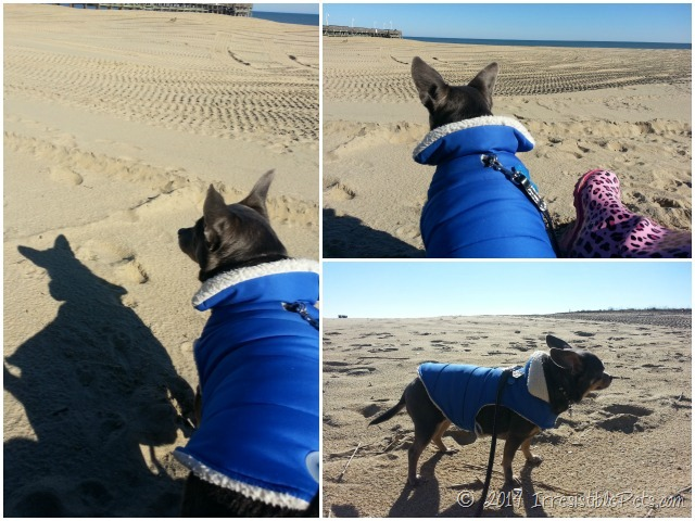 Chuy Chihuahua Collage at Sandbridge