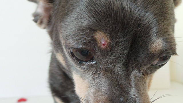 Bacterial Dermatitis Chuy Chihuahua