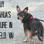 Chuy Chihuahua's Adventure in Smithfield, Virginia