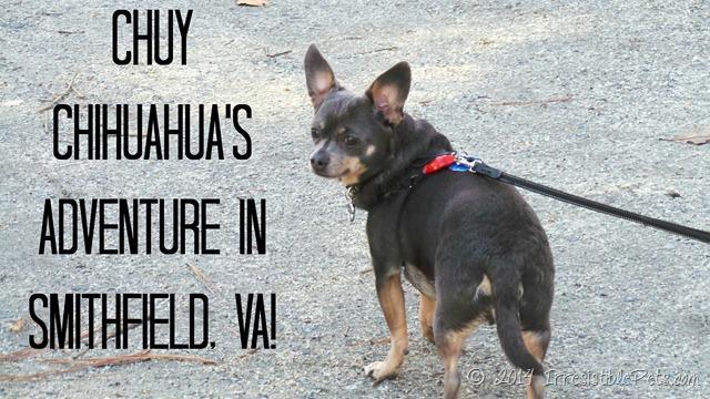 Chuy Chihuahua Adventure in Smithfield Virginia