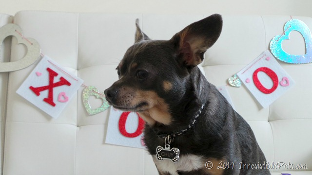 Chuy Chihuahua Valentines Day #RecipeforMoments