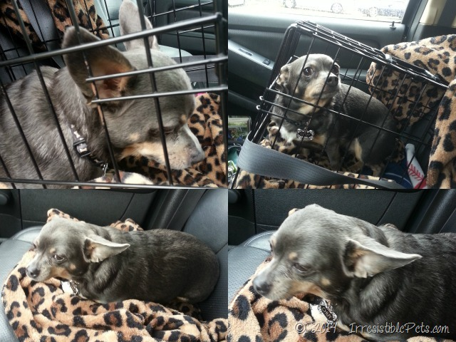 Chuy Chihuahua Car Ride to the Vet