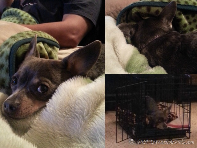 Chuy Chihuahua Resting After the Vet
