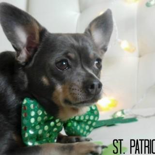 Chuy-Chihuahua-St-Patricks-Day-2014.jpg