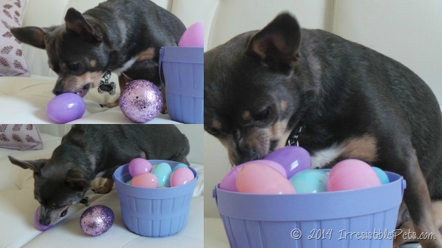 Chuy Chihuahua Easter Basket IrresistiblePets.com