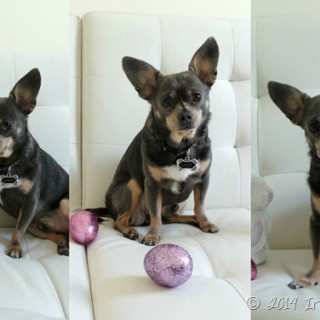 Chuy-Chihuahua-Easter-Egg-Collage_thumb.jpg