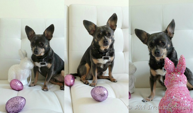 Chuy Chihuahua Easter Egg Collage