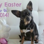 Happy Easter from Chuy Chihuahua!