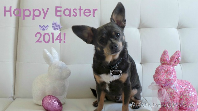Happy Easter 2014 from Chuy Chihuahua