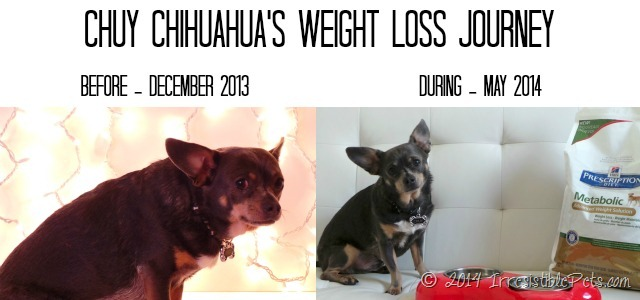Chuy Chihuahuas Weight Loss Journey Before and During Pics