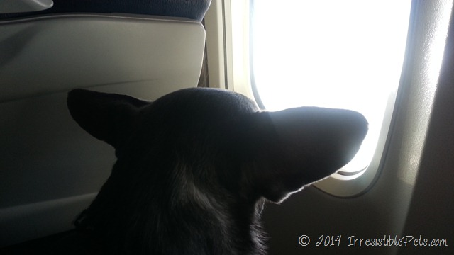 Air Travel Tips for Small Dogs by IrresistiblePets.com