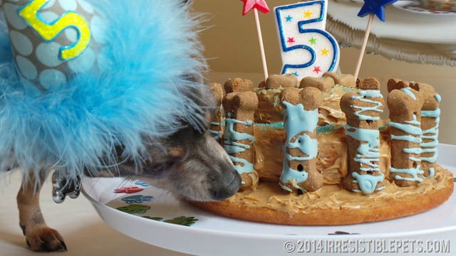 Dog Birthday Cake Recipe with Chuy Chihuahua 2