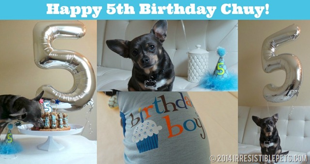 Happy 5th Birthday Chuy Chihuahua