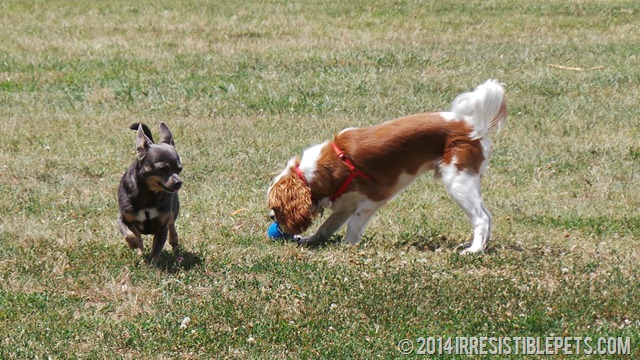 Chihuahua Meetup at Bayville Farms Dog Park