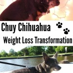 Chuy Chihuahua's Weight Loss Transformation with #HillsPet