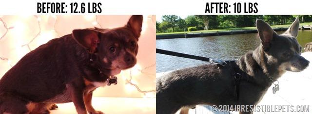 Chuy Chihuahua Weight Loss Transformation on IrresistiblePets.com