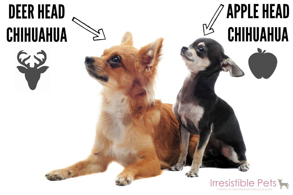 Deer-Head-Chihuahua-versus-Apple-Head-Chihuahua-IrresistiblePets.com ...
