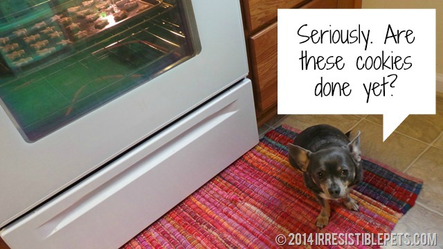 Irresistible Christmas Cookie Dog Treats Chuy Chihuahua Guarding the Stove