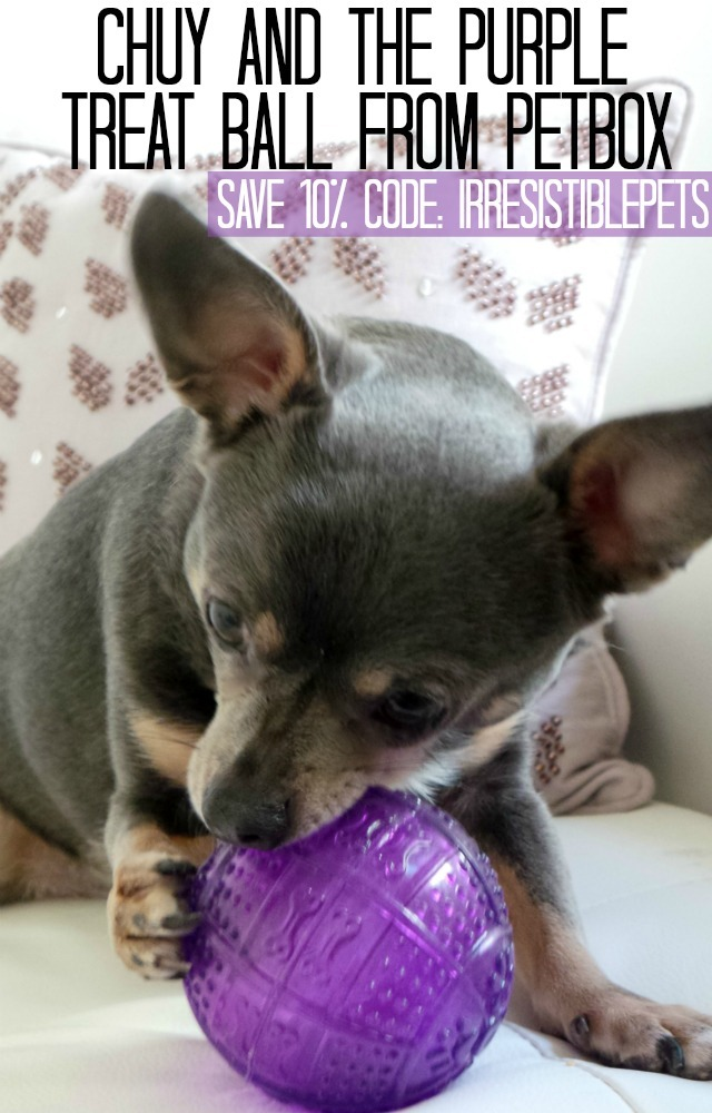 Chuy and the Purple Treat Ball from PetBox. Save 10 on all subscriptions with code IRRESISTIBLEPETS