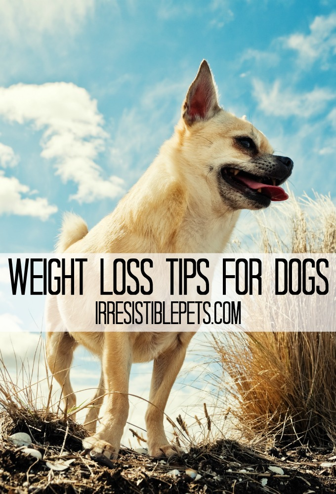 Weight Loss Tips for Dogs by IrresistiblePets.com