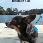 Chuy Chihuahua Explores Lake Smith