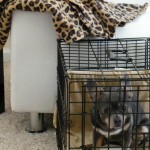 Five Benefits of Crate Training a Chihuahua #CrateHappyPets