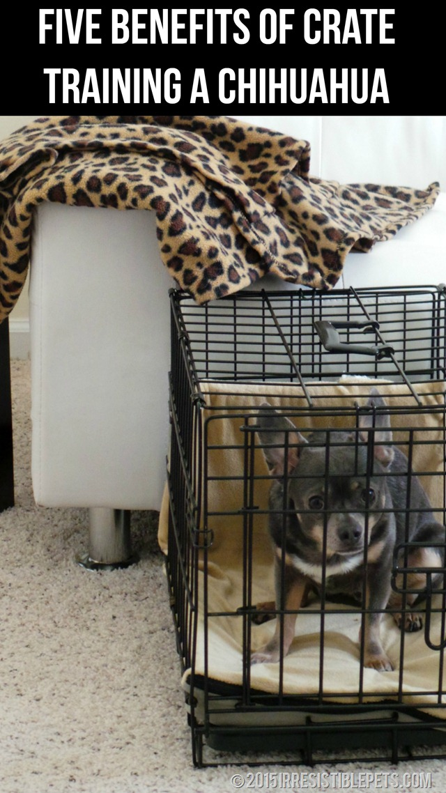 Five Benefits of Crate Training a Chihuahua #CrateHappyPets Read More at IrresistiblePets.com