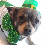 St. Patrick's Day Dog Treat Recipes and DIY Ideas