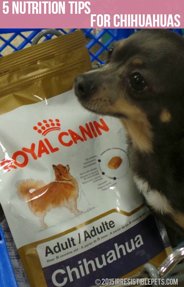 Five Nutrition Tips for Chihuahuas Sponsored by #RoyalCanin Read More at IrresistiblePets.com