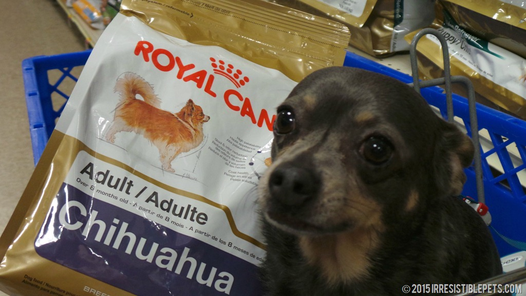 five nutrition tips for chihuahuas royalcanin irresistible pets. Black Bedroom Furniture Sets. Home Design Ideas