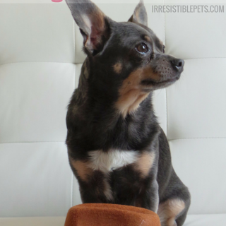 The-Ultimate-Guide-to-BlogPaws-Nashville-by-IrresistiblePets.com_thumb.png
